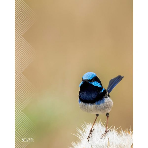 Little Blue Fairy Wren