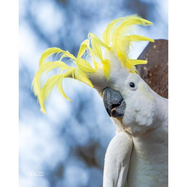 Cocky with a Crown