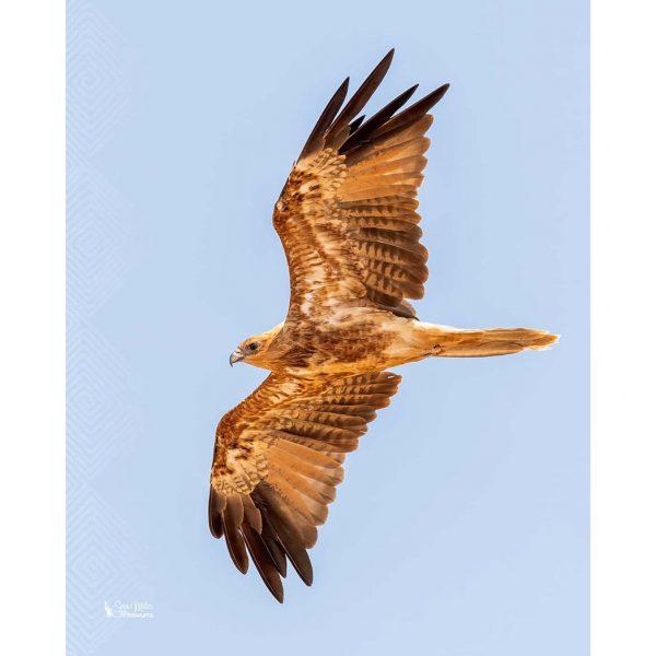 Whistling Kite in Flight